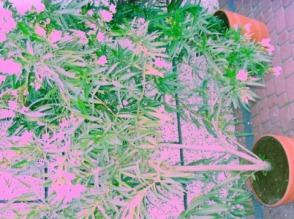 Oleandry w róznych kolorach - zdjęcie 1