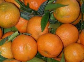 Do sprzedania mandarynki wloskie - zdjęcie 1