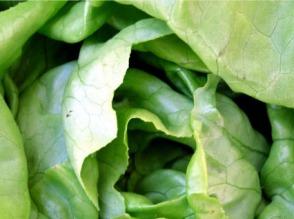 Nasiona sałaty - Sunny, Cedrine, Robinson i inne - zdjęcie 1