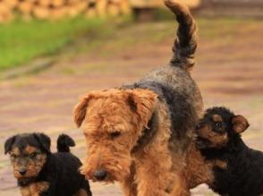 Sprzedam teriera walijskiego suka/pies - zdjęcie 1