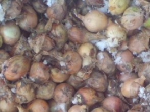 Sprzedam cebule z dostawą do klienta mazowieckie żółta i czerwona - zdjęcie 1