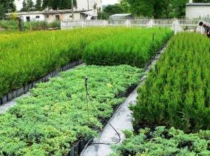 Sprzedam krzewy ozdobne różnych gatunków i odmian. Jałowce, cyprysiki, cisy i tuje - rośliny wysokie oraz miniatury - zdjęcie 1
