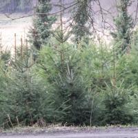 sprzedam drzewka ozdobne choinki poznań - zdjęcie 1