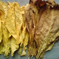 liscie tytoniu TANIO!!! - zdjęcie 1