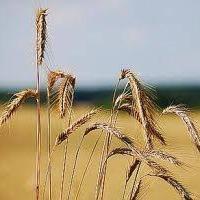 Skup zbóż, płacimy w dniu odbioru - zdjęcie 1