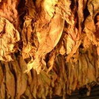 Sprzedam liscie tytoniu po 20 zł I klasa virginia burley - zdjęcie 1