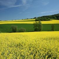 Olej rzpekowy sprzedam 3900, fosfor 30ppm KOH 2mg EU - zdjęcie 1