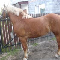 Sprzedam Konia - zdjęcie 1
