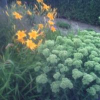 Sprzedam tuje, swierki, byliny, krzewy ozdobne - zdjęcie 1