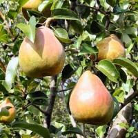 Drzewka owocowe jesień 2012 - zdjęcie 1