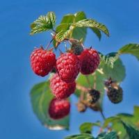 Sprzedam sadzonki malin POLKA -odmiana jesienna - zdjęcie 1