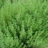 Nasiona tymianku - zdjęcie 1