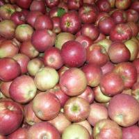 Kupię jabłko przemysłowe odmiany Golden  - zdjęcie 1