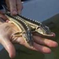 Ukraina.Wspolpraca.Produkcja jesiotra,hodowla ryb. - zdjęcie 1