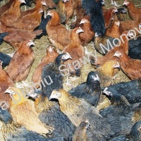 Oświęcim - sprzedam kokoszki ogólnoużytkowe, kury nioski - zdjęcie 1
