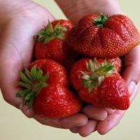 """Sadzonki truskawek zestaw 100 szt ( 4 odmiany) \""""Owoce całe lato\""""  frigo B  - zdjęcie 1"""