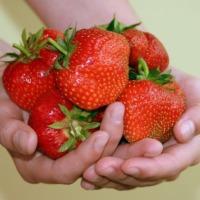 Sadzonki truskawek zestaw 100 szt ( 4 odmiany) Prawdziwy smak polskiej truskawki  frigo B - zdjęcie 1