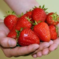 Sadzonki truskawek Senga Sengana frigo A+ Owoce po 8 tygodniach  - zdjęcie 1