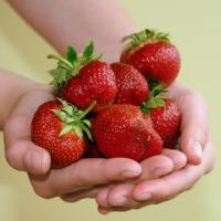 Sadzonki truskawek Polka frigo B Owoce po 8 tygodniach - zdjęcie 1