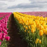 Tulipany cięte50gr Hurt - zdjęcie 1