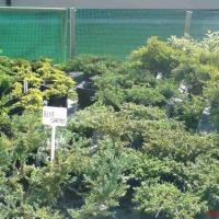 tuje szmaragd iglaki krzewy Gorlice - zdjęcie 1