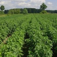 Nasiona kwalifikowane zbóż lubelskie