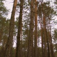 sprzedam las sosnowy tanio - zdjęcie 1