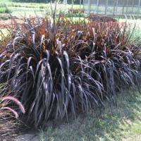 Trawę ozdobną Pennisetum purpureum Vertigo sprzedam - zdjęcie 1