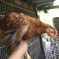 Karmazyny kurczaki     - zdjęcie 1