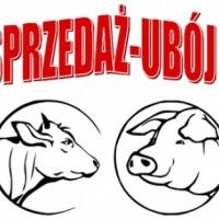 Skup bydła: byków, jałówek, krów i cieląt oraz z trzody chlewnej głównie macior, skup owiec: jagniąt, maciorek, tryków - zdjęcie 1