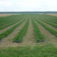 sadzonki truskawki odmiana MARMOLADA - zdjęcie 1