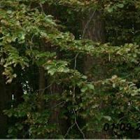 nasiona leśne do nasadzeń po rolnych i na żywoploty - zdjęcie 1