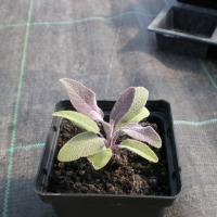 Sprzedam zioła doniczkowe wszystkie rodzaje - zdjęcie 1