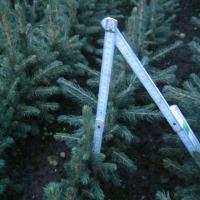 Świerk srebrny, jodła - Sadzonki na plantacje + Transport - zdjęcie 1