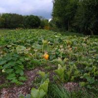 Dyniowy Zagon - Dynie ekologiczne w Częstochowie - zdjęcie 1
