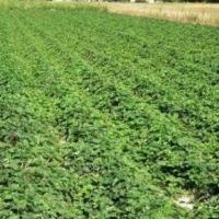 Sprzedam tanio sadzonki truskawek - Marmolada i Sonata - zdjęcie 1