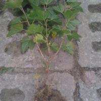 porzeczka czarna sadzonki mocno ukorzenione - zdjęcie 1