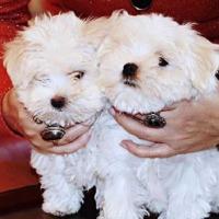 Maltański puppy na sprzedaż - zdjęcie 1