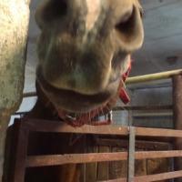 wynajmę stajnie dla koni Tanio !!! - zdjęcie 1