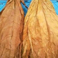 Piękne liście tytoniu - zdjęcie 1