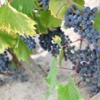 Winnica Stok - zdjęcie 1