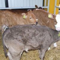Sprzedam cielęta mięsne byczki byki bydło cielaki sprzedaż cieląt sprzedam byczki cielęta cielę www.sprzedazcielat.pl - zdjęcie 1