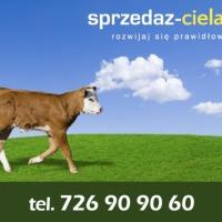 Sprzedam byczki do dalszego chowu cielęta mięsne byczki byki bydło cielaki sprzedaż cieląt sprzedam byczki cielęta cielę www.sprzedazcielat.pl - zdjęcie 1
