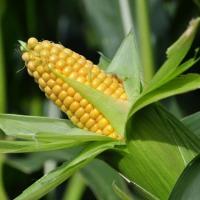 Sprzedaż kukurydzy i środków ochrony roślin - zdjęcie 1