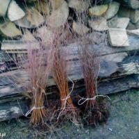 Sadzonki brzozy - zdjęcie 1