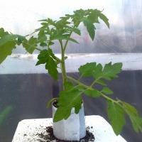 Sadzonki pomidorów - zdjęcie 1
