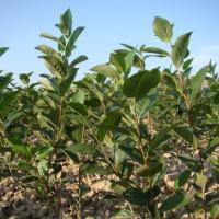 sadzonki aronii wegetatywne - zdjęcie 1