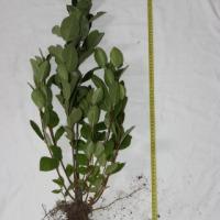 Sadzonki aronii - zdjęcie 1