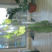 Sprzedam piękne,duze storczyki 80-85cm - zdjęcie 1