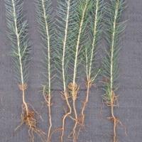 Świerk srebrny Picea glauca Kaibab 10-20cm 1zł - zdjęcie 1